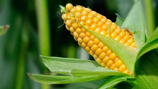 Preço do milho continua em alta mesmo com avanço da colheita no Brasil